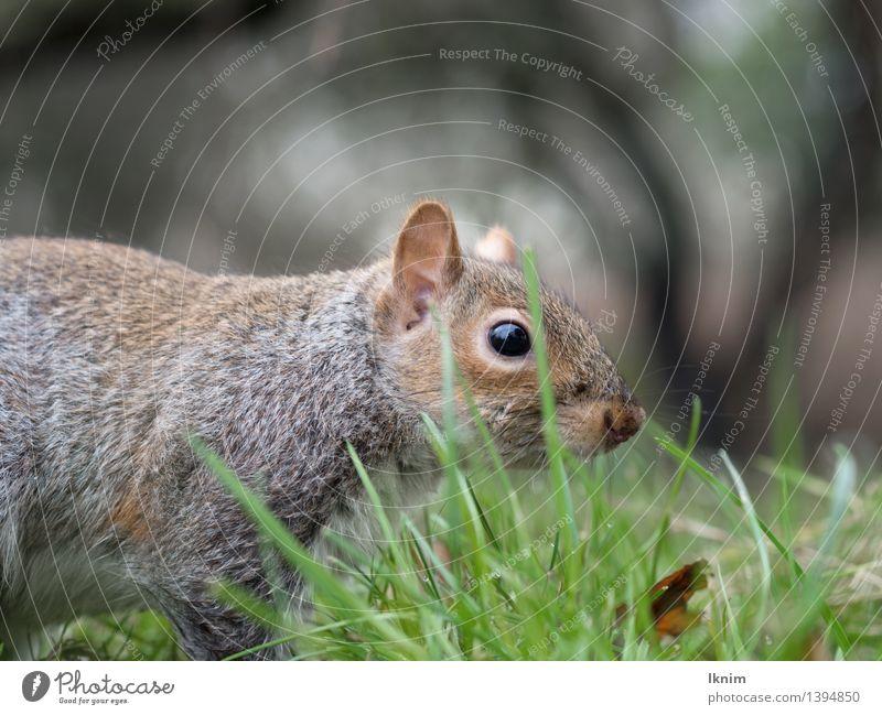 Eichhörnchen im Gras Umwelt Garten Park Wiese Tier Wildtier grauhörnchen Eichkätzchen Eichkatze entdecken braun grün Suche Rasen Boden Halm Farbfoto
