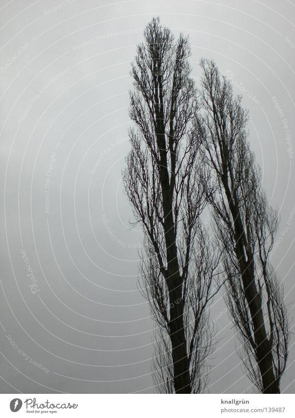 Windschief Baum Pappeln Winter 2 trüb grau Jahreszeiten schlechtes Wetter Zusammensein nebeneinander Holz lang groß Himmel Baumstamm Ast Zweig anlehnen blau