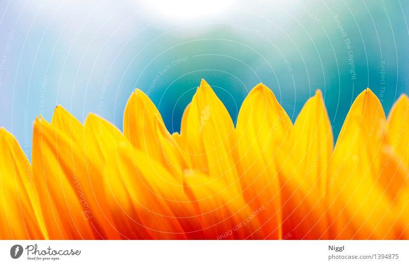 Sonnenblüte Natur Pflanze Frühling Sommer Herbst Schönes Wetter Blume Blüte Sonnenblume Wärme blau orange gelb rot Tiefenschärfe leuchten strahlen Farbfoto