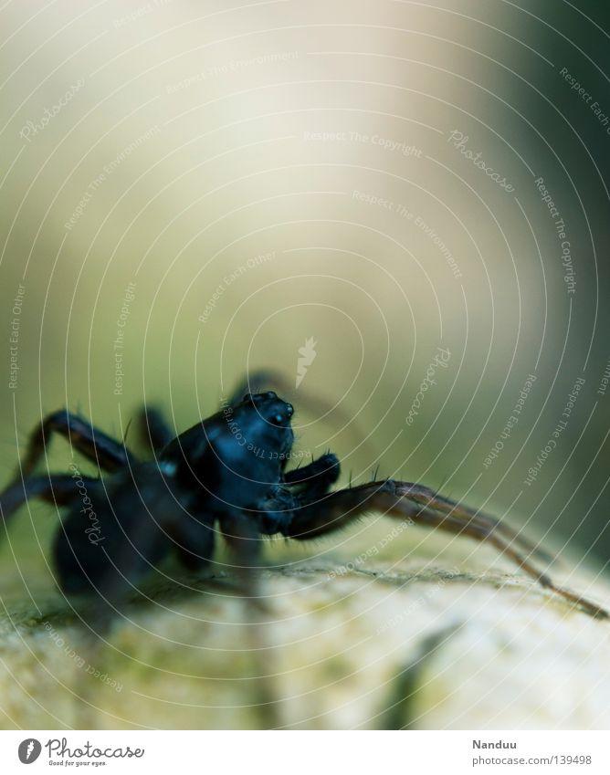 Welch Aussicht! Spinne Tier krabbeln Lebewesen Umweltschutz gruselig Insekt 8 Makroaufnahme Nahaufnahme Wasserspinne Artenschutz bedrohlich Argyroneta aquatica