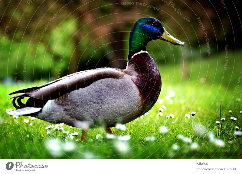 Entenmarsch weiß Blume grün Wiese Gefühle Frühling Vogel Feder Amerika Gänseblümchen Ente Stolz saftig Erpel Frühlingsblume