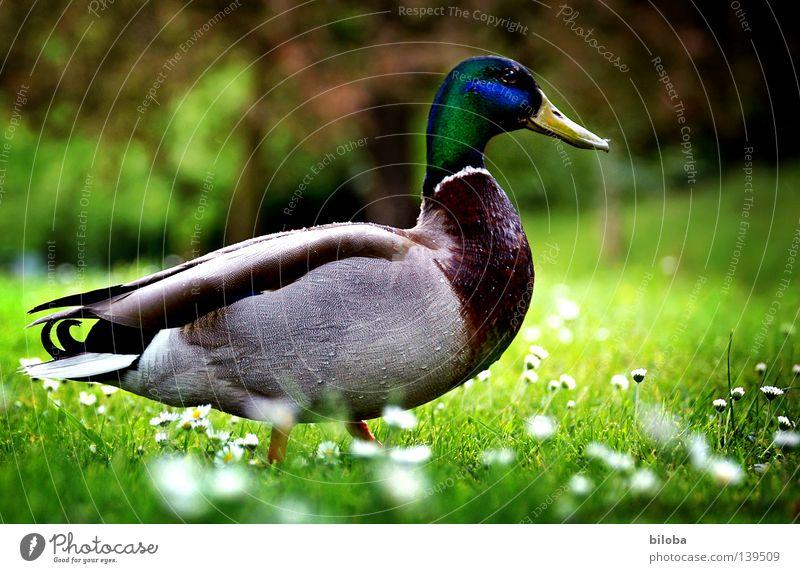 Entenmarsch weiß Blume grün Wiese Gefühle Frühling Vogel Feder Amerika Gänseblümchen Stolz saftig Erpel Frühlingsblume