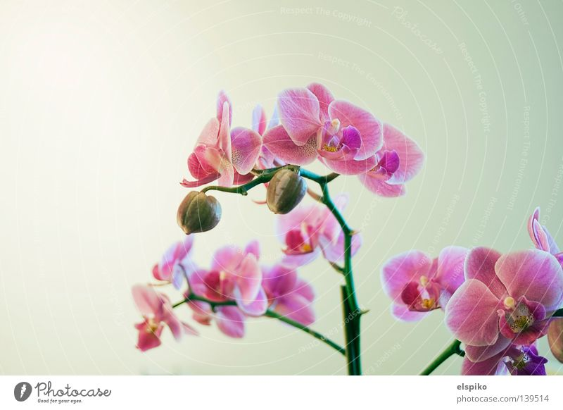 Orchid schön Blume Pflanze Gefühle Blüte hell rosa Orchidee