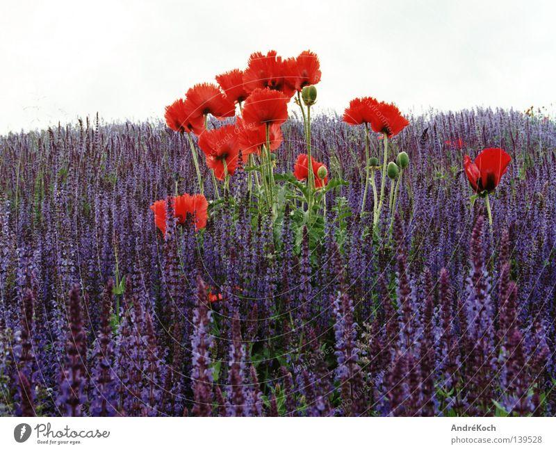 Mohn&Salbei Natur blau Pflanze rot Farbe Blüte Landschaft Brandenburg Potsdam Farbenspiel Heilpflanzen Klatschmohn Unkraut Lippenblüter