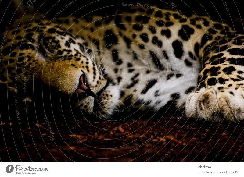 OS X Zoo Lebewesen Landraubtier Raubkatze Katze Leopard Fleischfresser Muster Tarnung Säugetier schlafen Punkt liegen Tierporträt Tiergesicht ruhig scheckig