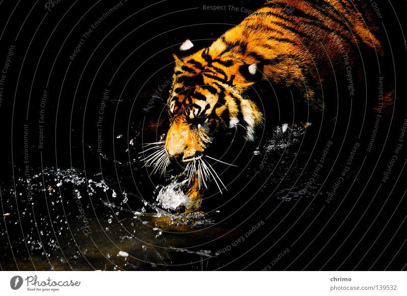 Jesustiger Katze Freiheit liegen schlafen bedrohlich Tier Punkt Lebewesen Zoo Säugetier Respekt Tiger König Tarnung Käfig Leopard