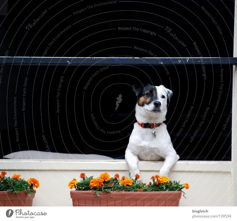 Fensterplatz Farbfoto Menschenleer Textfreiraum oben Freude Blume Hund 1 Tier warten schwarz weiß Sehnsucht Fernweh Konzentration Blumenkasten Säugetier