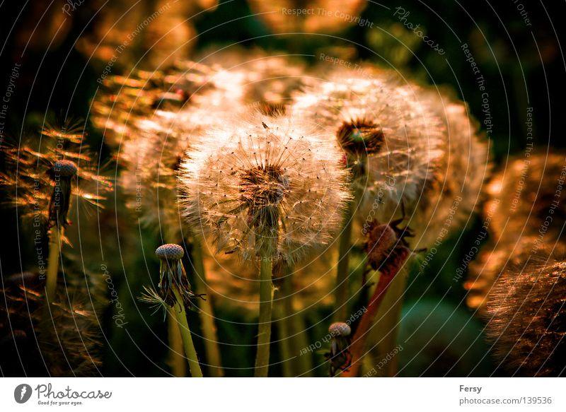 pusteblume Löwenzahn Sonnenuntergang Gegenlicht Natur Sommer gold Pflanze