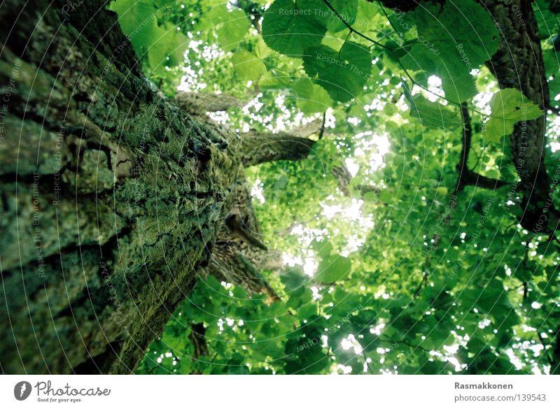 up the tree Himmel Blatt hoch aufwärts Baumstamm Baumrinde Buche