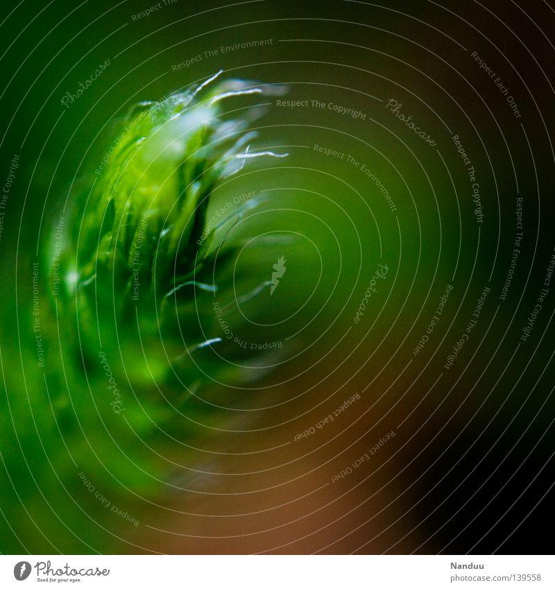 Wuschel-Puschel Bärlapp Heilpflanzen Pflanze Makroaufnahme Blatt Tiefenschärfe grün Umwelt Umweltschutz gefährlich Mangel Gift Sommer Nahaufnahme Lycopodium