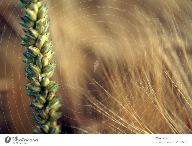 Nahrungsmittel Lebensmittel Getreide Ernährung Bioprodukte Vegetarische Ernährung Erntedankfest Landwirtschaft Forstwirtschaft Erde Schönes Wetter Wärme Feld