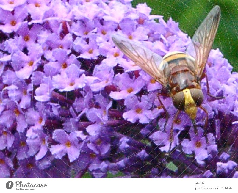 Macroshot fliegendes Viech im Ruhezustand Tier Blüte Insekt Wespen Zoomeffekt Fliederbusch Schwebfliege