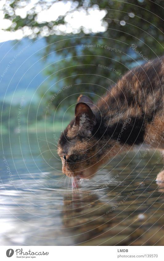 Haus-Puma an Wasserstelle Natur rot schwarz Tier Landschaft Denken Katze See orange Mund trinken Ohr Fell Bart Wachsamkeit