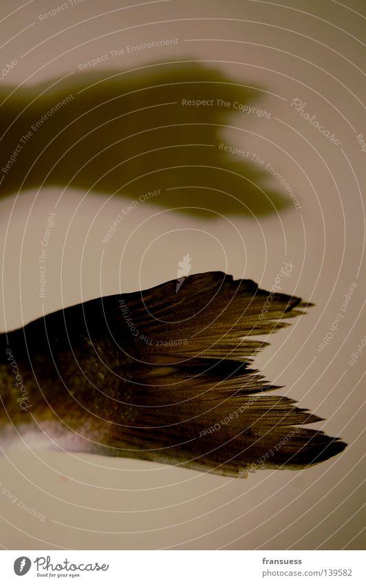 schwimmhilfe Dorade Kopfschuppe Schwimmhilfe fin Wasser meer. tier Ernährung Natur Detailaufnahme Schatten Fisch Schwimmen & Baden