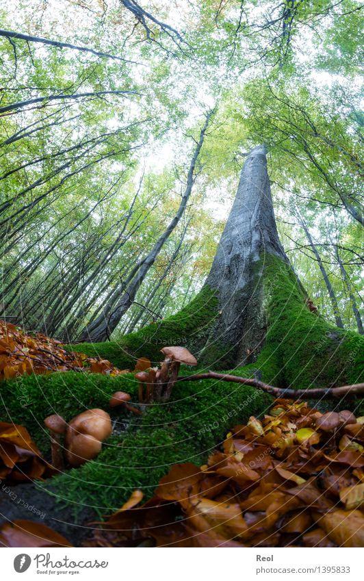 Baumwelten Natur Landschaft Urelemente Erde Sommer Herbst Pflanze Blatt Grünpflanze Wildpflanze Buche Moos Pilz Waldboden Blätterdach Baumkrone Buchenwald grün