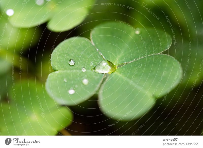 Tropfenfänger Natur Pflanze Wassertropfen Herbst Blatt Grünpflanze Kleeblatt Wald klein grün schwarz winzig Makroaufnahme Glücksklee Waldboden Farbfoto