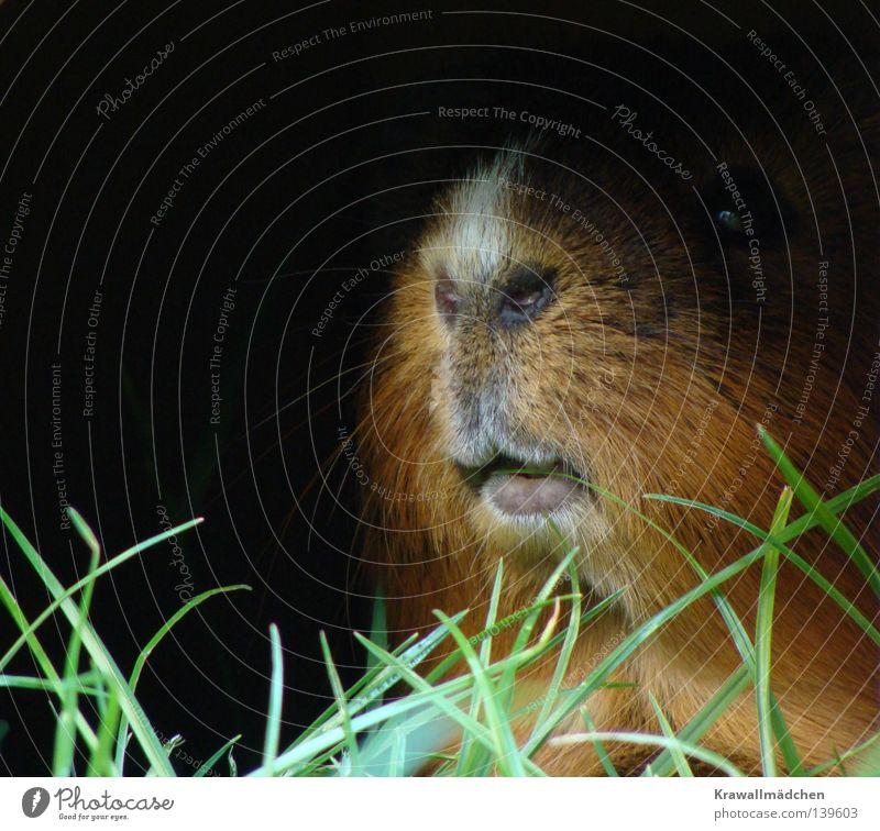 Eindeutig die Nase vorn haben Meerschweinchen Lippen Schnurrhaar Nasenloch dunkel Gras Halm Grünpflanze Futter Schüchternheit Angst Mut Hochmut majestätisch