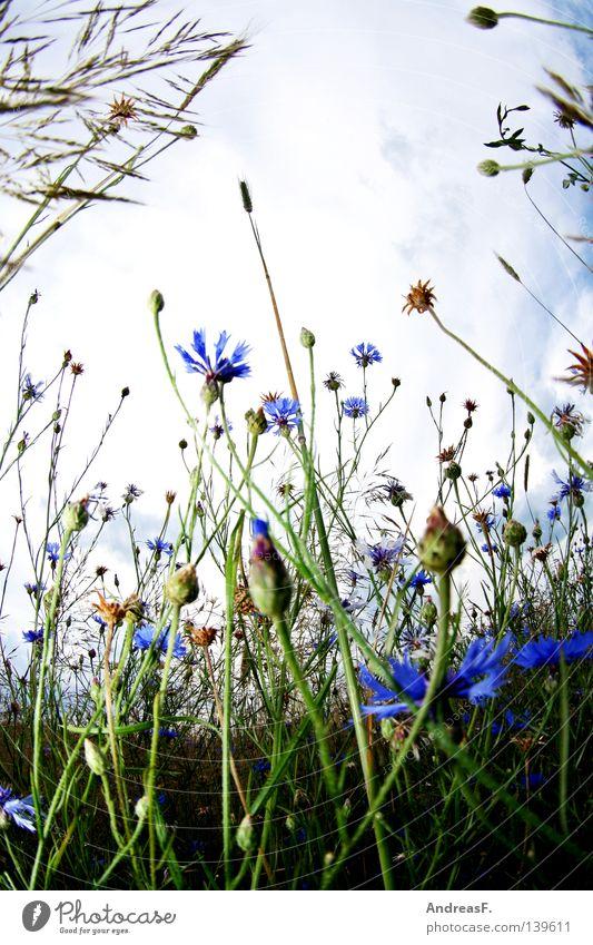 Bett im Kornfeld Kornblume Feld Sommer Blüte Weitwinkel Froschperspektive Erholung Wiese Blühend blau Fischauge bett im kornfeld Natur