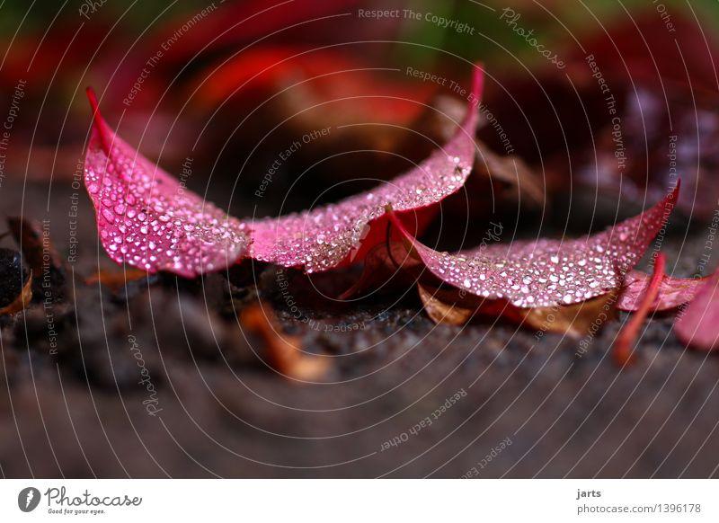 verregnet Wassertropfen Herbst Pflanze Blatt liegen glänzend nass natürlich rot Natur Regen Farbfoto Außenaufnahme Nahaufnahme Detailaufnahme Makroaufnahme
