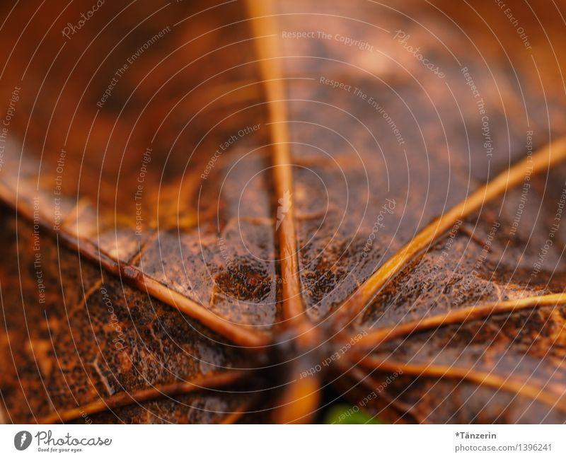 Herbstblatt Natur Pflanze Wasser schlechtes Wetter Regen Blatt nass natürlich braun Farbfoto Gedeckte Farben Außenaufnahme Makroaufnahme Menschenleer Tag