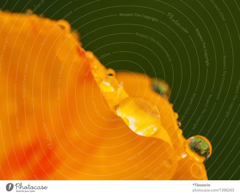 Kapuzinerkresse III Umwelt Natur Pflanze Wassertropfen Sonne Sommer Herbst Regen Blume Blüte Garten ästhetisch frisch schön natürlich gelb orange achtsam ruhig