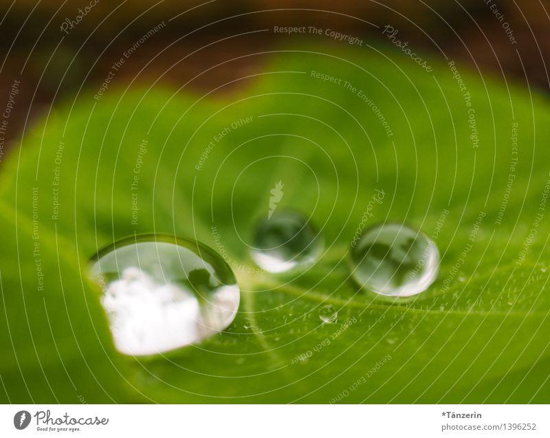Wasservorrat II Natur Pflanze grün schön Blatt Herbst natürlich Regen frisch ästhetisch nass
