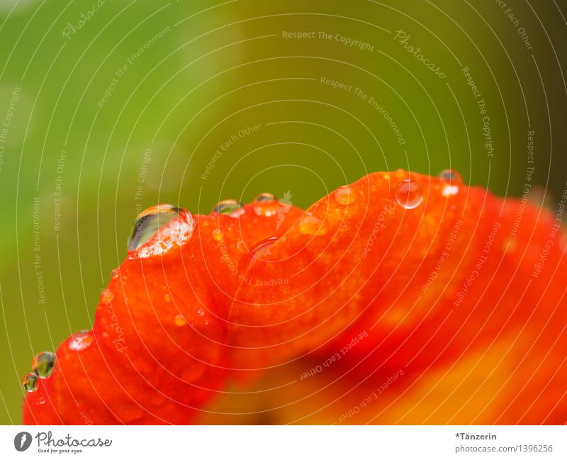 Kapuzinerkresse Umwelt Natur Pflanze Wassertropfen Sonne Sommer Herbst Schönes Wetter Regen Blume Blüte ästhetisch Gesundheit schön nass natürlich Sauberkeit