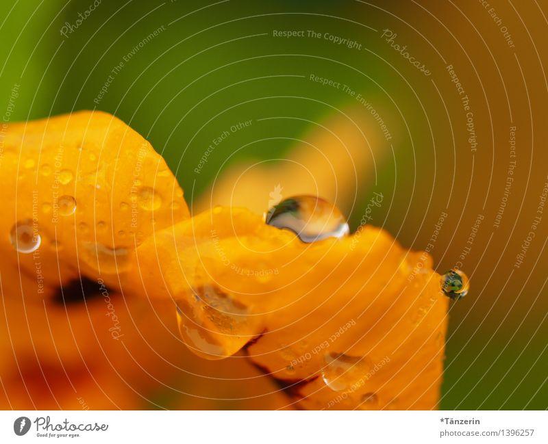 Kapuzinerkresse II Natur Pflanze grün schön Sommer Sonne Blume gelb Blüte Herbst Gesundheit Regen frisch ästhetisch Wassertropfen Schönes Wetter
