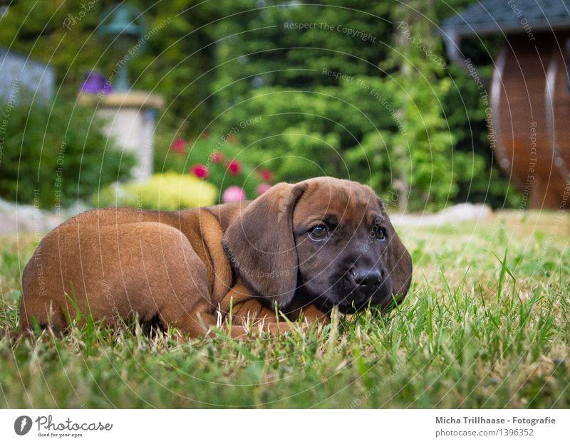Ausruhen Natur Garten Tier Haustier Hund Tiergesicht Fell 1 Tierjunges Erholung liegen schlafen Wachstum Freundlichkeit klein natürlich niedlich braun