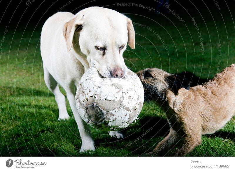 Der Terrier Ernährung Tier Spielen Hund Fußball Macht Mut Konflikt & Streit kämpfen beißen Besitz Labrador Tiertraining Machtkampf