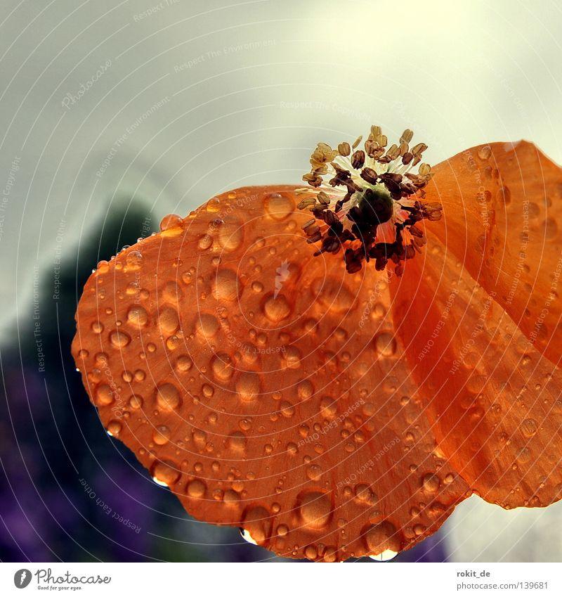 Zerfall Verfall Mohn Blüte nass rot Blume Regen Trauer Stengel zart verwundbar verfallen Verzweiflung Wassertropfen laufen auseinanderfallen orange