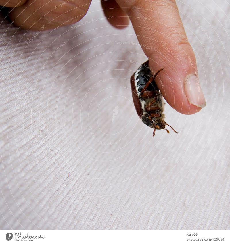 der käfer Hand Finger Insekt fallen hängen Käfer Fingernagel Maikäfer