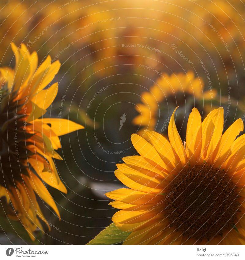 Abendsonne... Umwelt Natur Landschaft Pflanze Sommer Schönes Wetter Blume Blatt Blüte Nutzpflanze Sonnenblume Sonnenblumenfeld Blütenblatt Feld Blühend leuchten