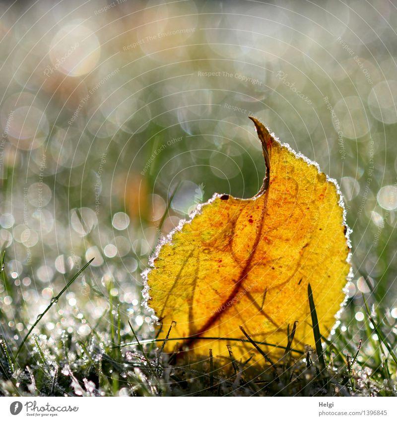 Raureif... Natur Pflanze grün weiß Blatt ruhig kalt Umwelt gelb Herbst Gras natürlich klein grau Garten außergewöhnlich