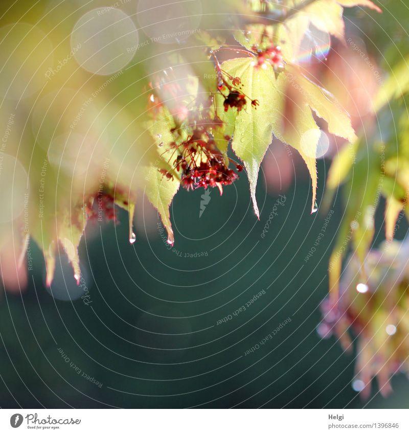 Blättervorhang... Umwelt Natur Pflanze Wassertropfen Frühling Schönes Wetter Sträucher Blatt Blüte Ahorn Ahornblatt Garten Blühend glänzend hängen leuchten