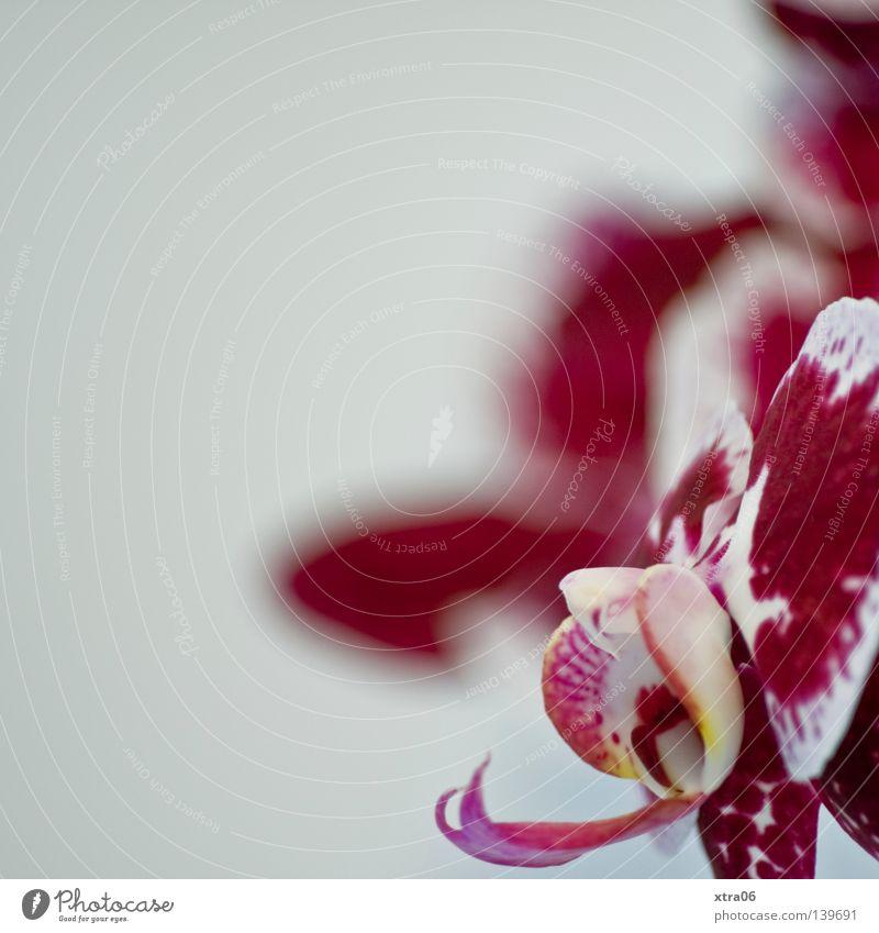 die blüte Pflanze Blume Blüte zart Urwald exotisch sanft Orchidee