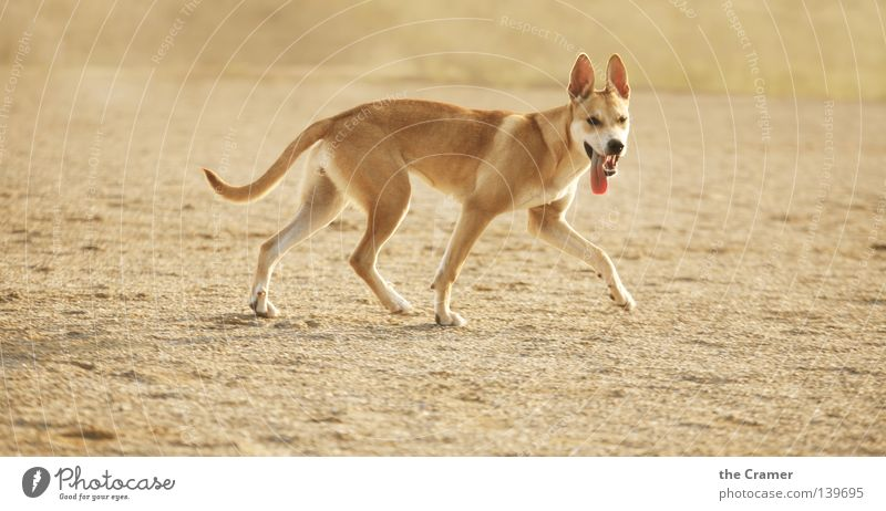 Hey, die kriegt doch sicher nicht genug zu fressen... Sommer Ferne Tier gelb Sand Hund Erde gold Ohr Wüste Gebiss hören aufwärts Wachsamkeit Geruch frech