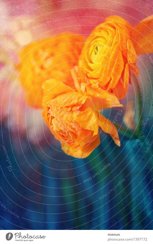 Ranunkeln Natur blau Sommer Blume Blüte Herbst Frühling natürlich Feste & Feiern rosa orange Dekoration & Verzierung Geburtstag Beruf Blumenstrauß Valentinstag