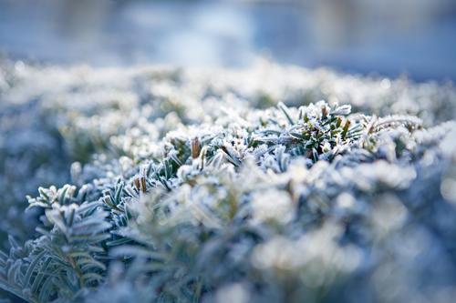 kalt Natur Pflanze Winter Herbst Wetter Eis Frost Hecke Eibe