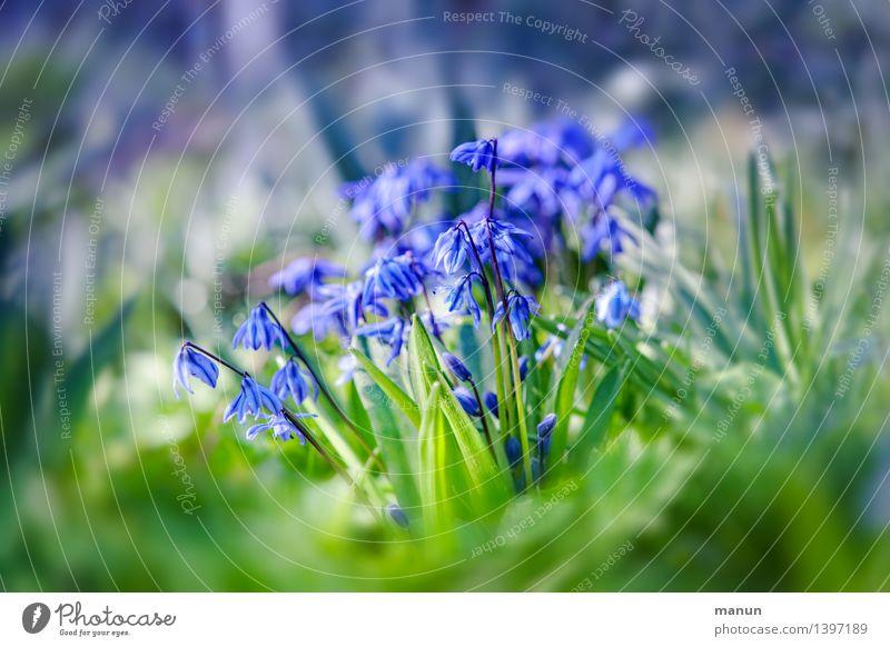 Scilla Gesundheit Gesundheitswesen Medikament Natur Frühling Pflanze Blume Blüte Nutzpflanze Wildpflanze Blaustern Frühlingsblume Garten Wiese natürlich blau