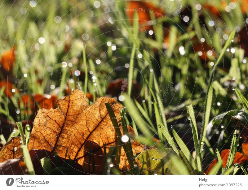 herbstlich... Umwelt Natur Pflanze Wassertropfen Herbst Gras Blatt Blattadern Wiese glänzend leuchten liegen dehydrieren authentisch einzigartig klein nass
