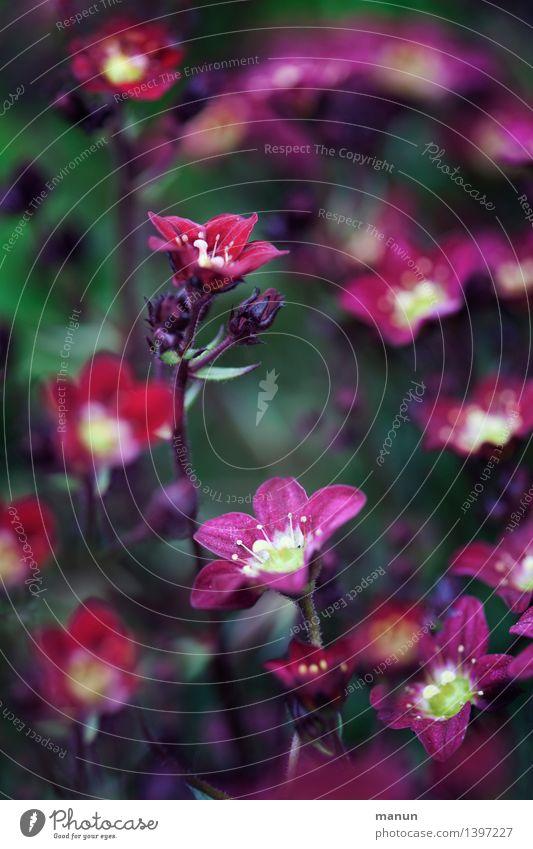 gedeckte Farben Natur Pflanze Sommer Herbst Blume Sträucher Blüte Stauden dunkel natürlich violett rot Farbfoto Gedeckte Farben