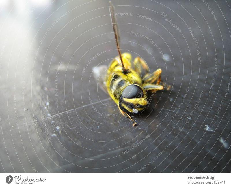 R.I.P. Natur schön Sommer Tier schwarz gelb Auge Tod Fenster Angst Flügel Insekt Schmerz Holzbrett vergangen Panik