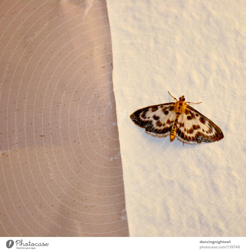 ungeladener Besucher. Sommer Tier Wand hell Raum Wohnung Flügel Insekt Schmetterling Fühler zerbrechlich