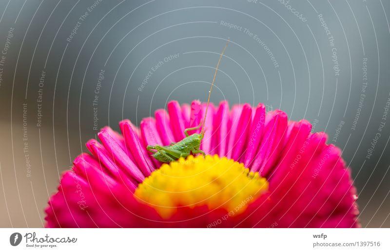 Kleiner Grashüpfer sitz in einer Blume Baby Natur klein gelb grün rosa Heuschrecke Insekt Heimchen Nahaufnahme Detailaufnahme Makroaufnahme