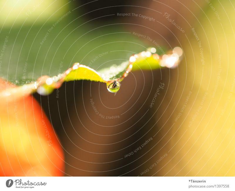 Tropfen VI Natur Pflanze Sonne Sommer Herbst Regen Blume Blatt Garten ästhetisch frisch nass natürlich schön grün orange achtsam ruhig Tau Farbfoto mehrfarbig