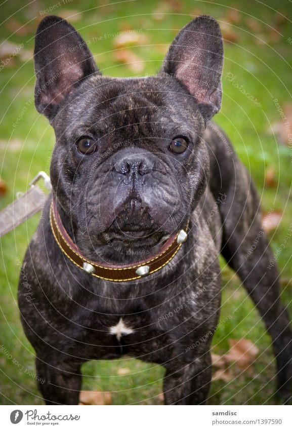 Welpe der französischen Bulldogge Hund 1 Tier Tierjunges Macht Sympathie Wachsamkeit Porträt neugierig niedlich Französisch allein Schuss Haustier hässlich