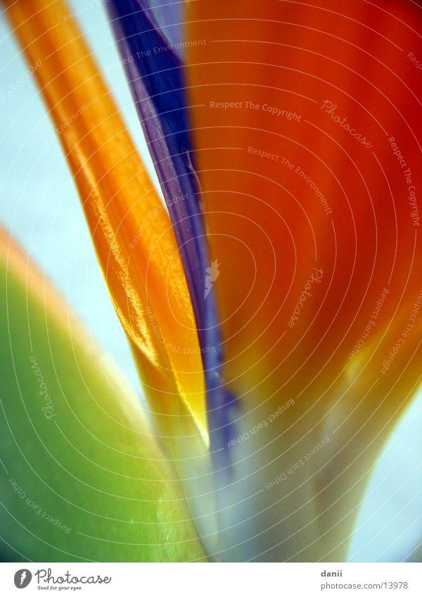 Strelitzie Blume Pflanze orange Makroaufnahme Strelitzie Paradiesvogelblume