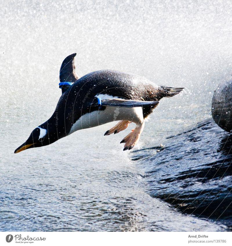 100 geschafft! - Ich glaub ich heb ab! Wasser Meer Winter Tier springen Stein Vogel Wellen Küste Zoo hüpfen Gischt Pinguin
