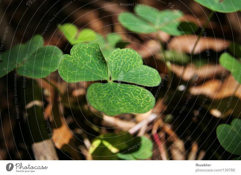 Schattenspiele mit Kleeblatt Natur grün Pflanze Einsamkeit Traurigkeit braun warten Bodenbelag Trauer geheimnisvoll Irrgarten Kleeblatt Waldboden